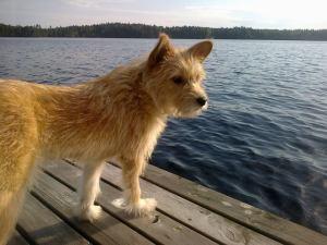 Iida, pentuna Bukarestin kaduille hylätty löytökoira viettää nyt onnellista Suomi-koiran elämää