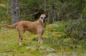 Koko 6-vuotisen elämänsä romanialaisella koiratarhalla viettänyt Ella elää tasapainoista koiranelämää Suomessa