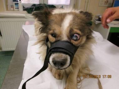 Toinen samaisesta helvetistä pelastettu koira eläinlääkärin tutkittavana ja hoidettavana