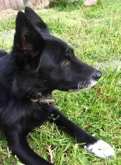 Taika 12v. Elämäni ensimmäinen narttukoira: 1 juoksu ja 1 kohtutulehdus. Melko harvinaista nuorella koiralla, mutta mahdollista.
