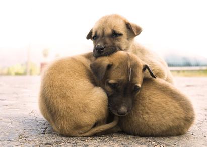 Pile of three sad, cute dogs, Myanmar